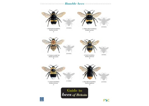 FSC Field Guide to Bees of Britain